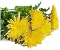 Хризантема Анастасия желтая, 70 см.